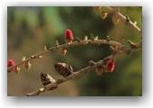 fleurs de mélèze