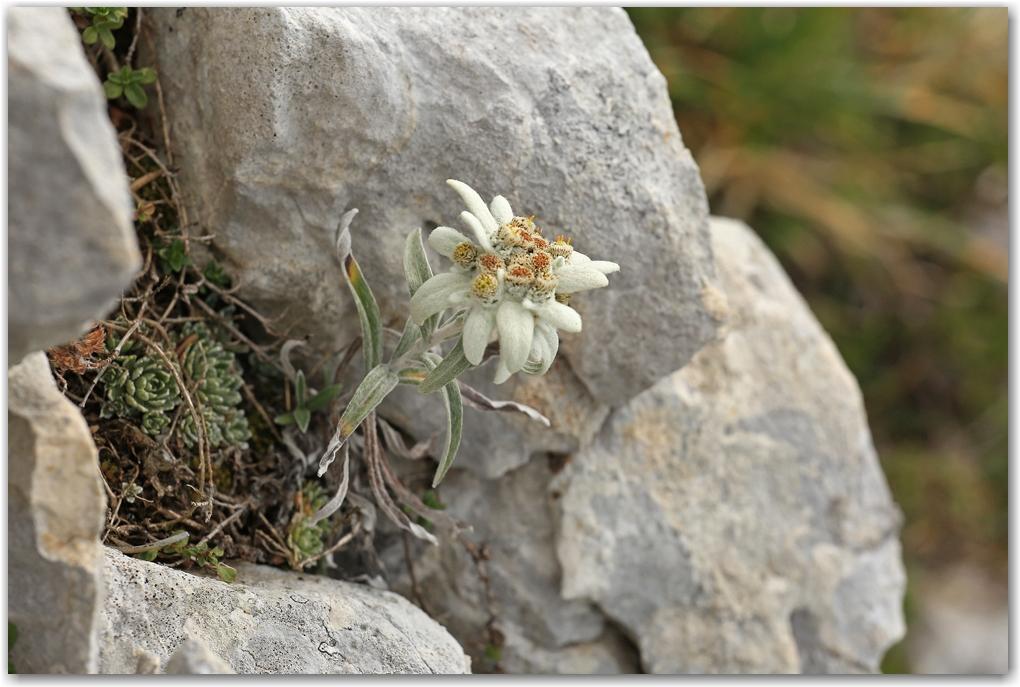 bouquetins du Vercors
